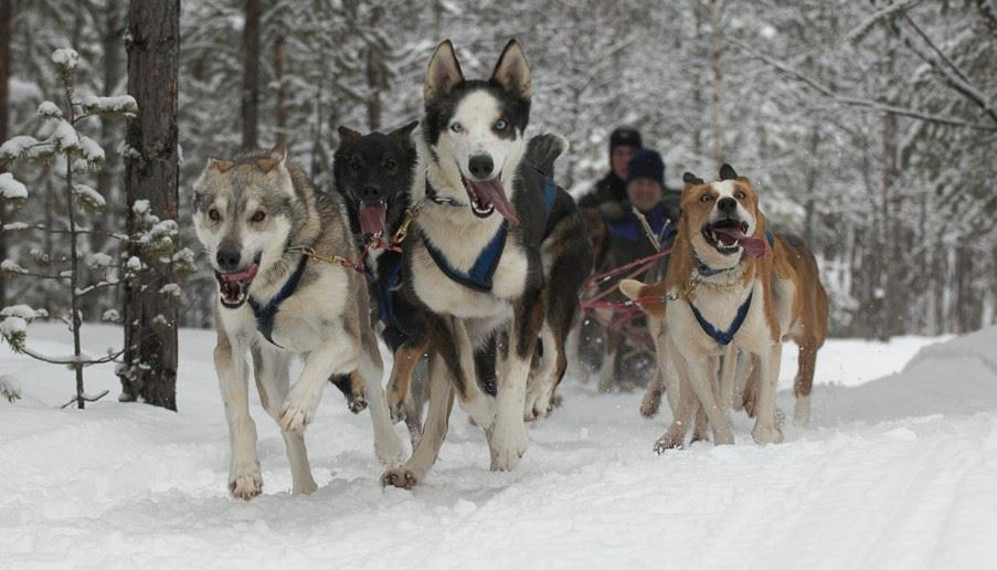 Dog sled tour, Norway