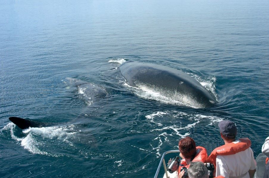 Whale & Dolphin watching, Sao Miguel, The Azores