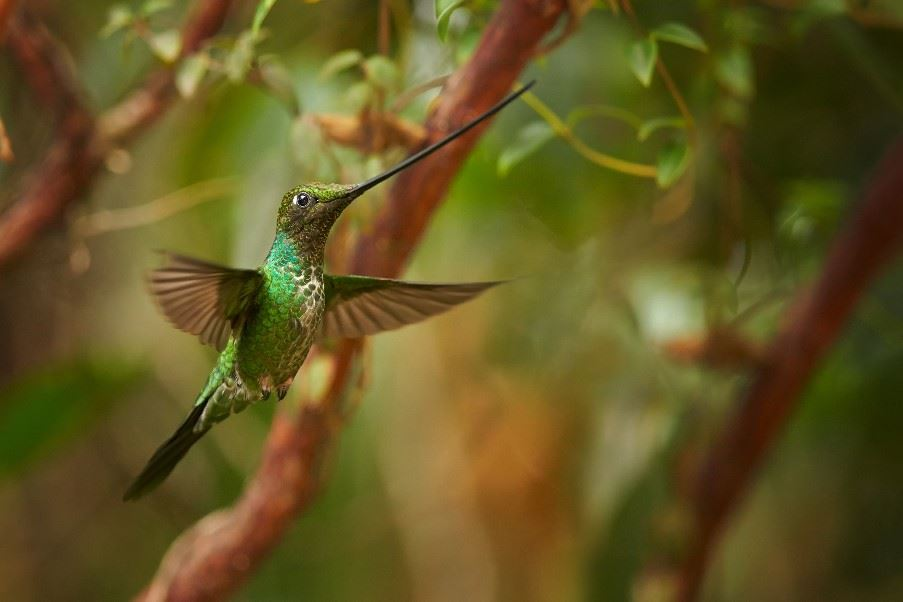 Sword-billed hummingbird, Yanacocha Nature Reserve