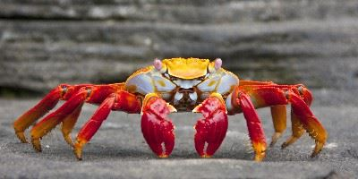 Crab, The Galapagos Islands