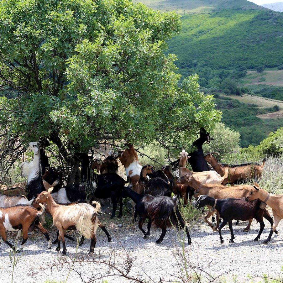 The goats of Skopelos