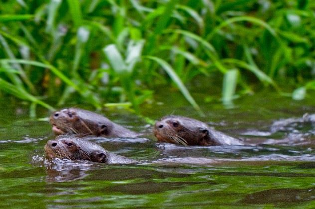 Giant otters, Amazon Basin