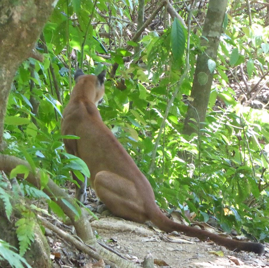 Puma in Corcovado National Park