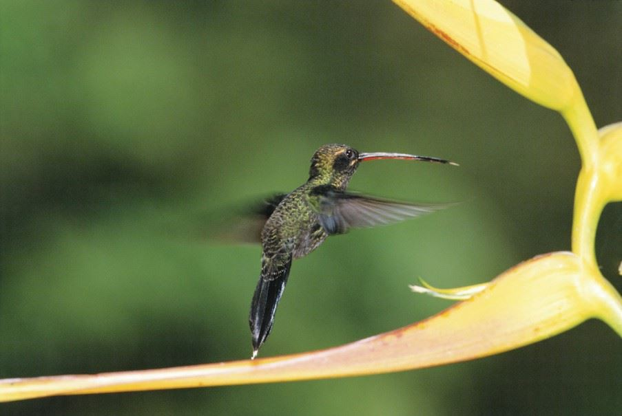 Hummingbird, Mindo Cloud Forest