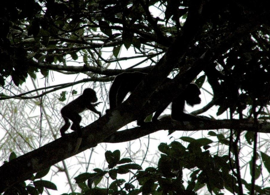 Wild monkeys, Amazon Basin Ecuador
