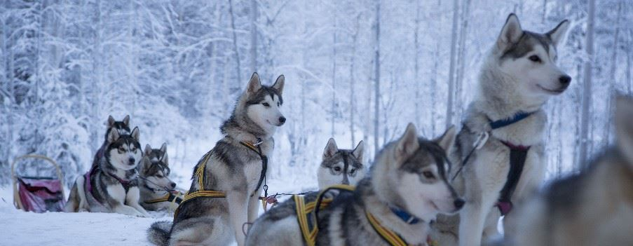 Husky dogs, Swedish Lapland