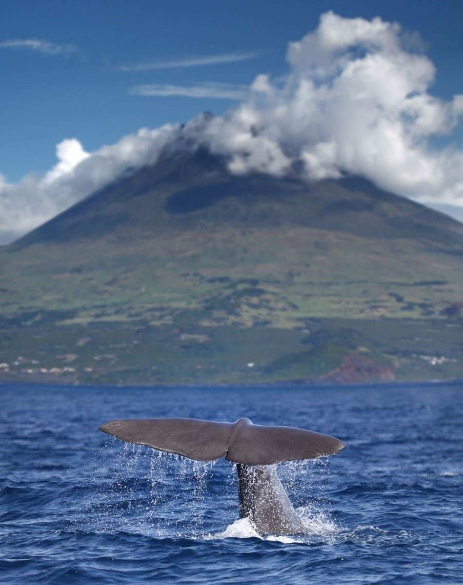 Whale watching, Pico
