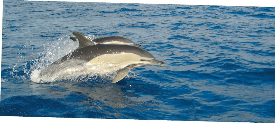 Dolphins, The Azores