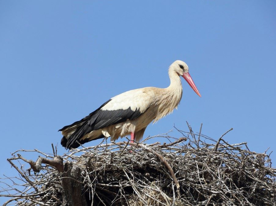 A stork in its nest is a common sight in Evora