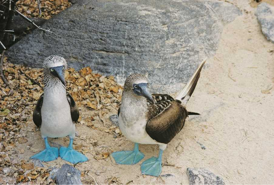 Blue-footed boobies, Los Tuneles