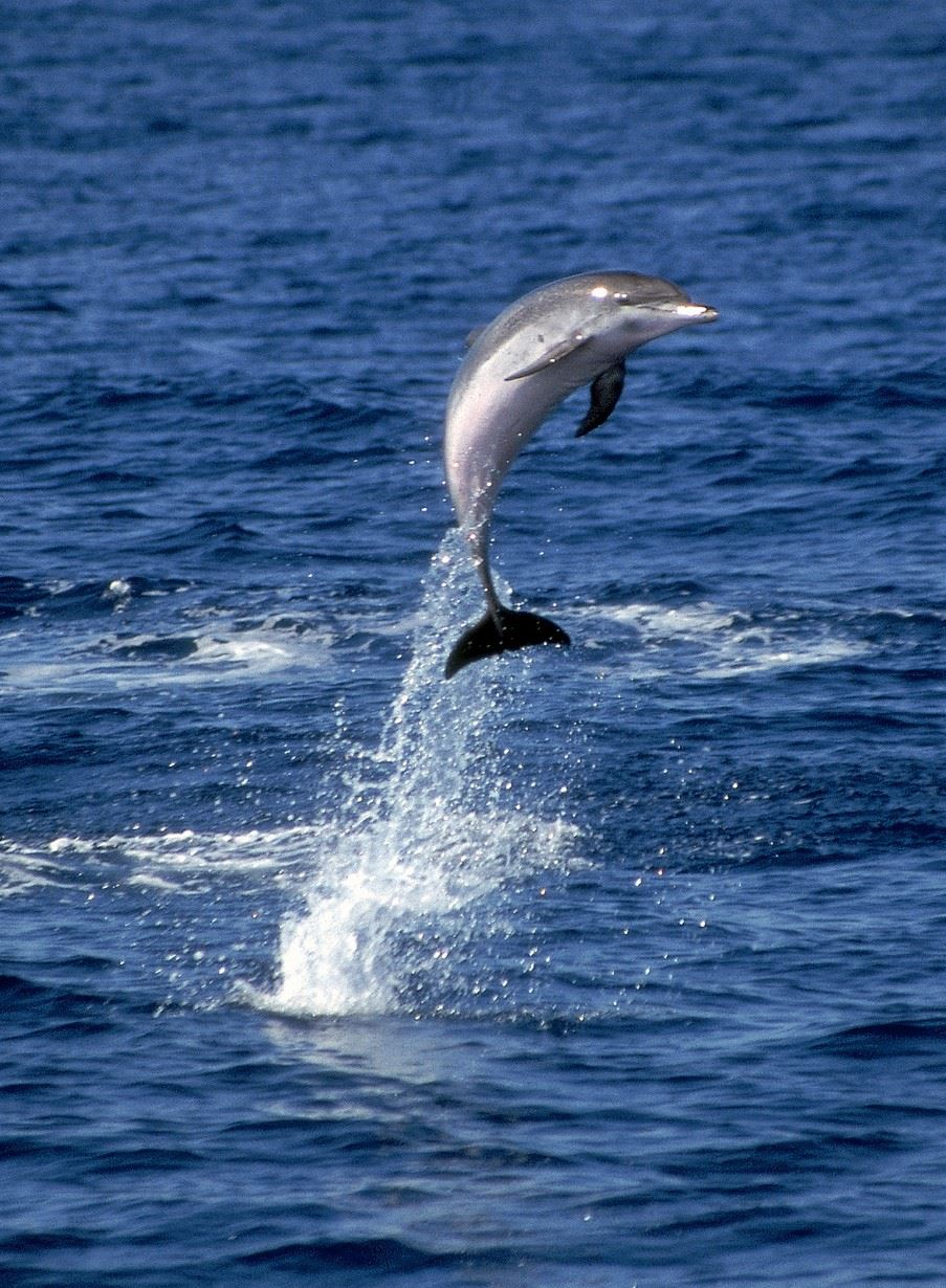 Whale and Dolphin watching, The Azores