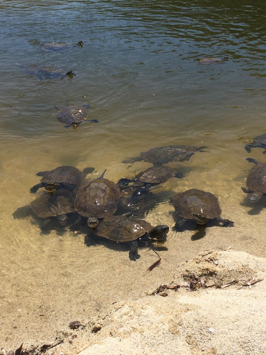 Terrapins in the ponds behind the beaches of Armenistis