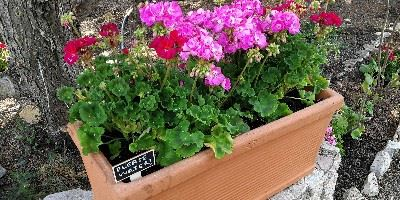 Newly planted geraniums