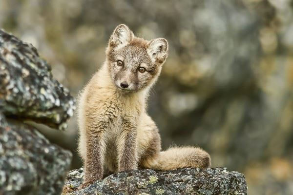 Young arctic fox, Svalbard in summer