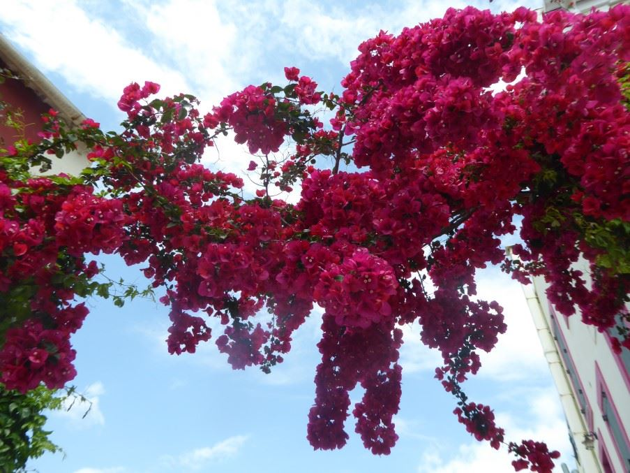 Bougainvillea in Fiscardo