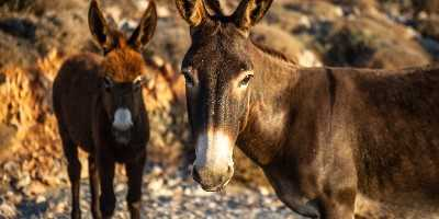 Donkeys of Folegandros, Cyclades