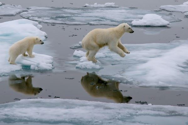 Mother polar bear and cub jumping ,Svalbard