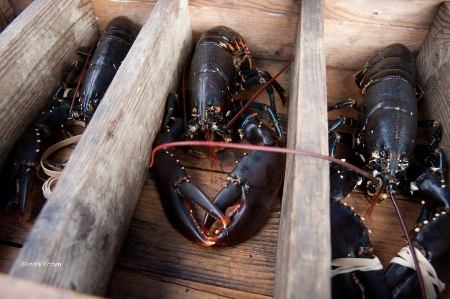 'Black gold of the sea' - lobster