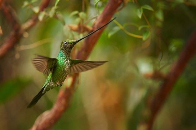 Sword billed hummingbird, Ecuador